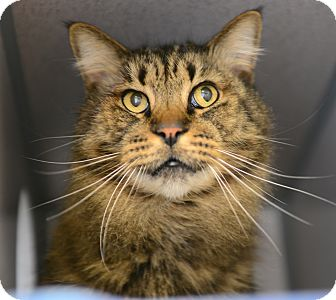 Domestic Longhair Cat for adoption in Gardnerville, Nevada - Stitch