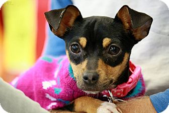 Miniature Pinscher Dog for adoption in Champaign, Illinois - Audrey