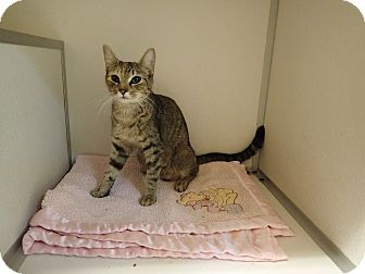 Domestic Shorthair Cat for adoption in Cannelton, Indiana - Meme