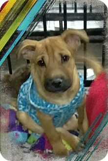 Shar Pei Mix Puppy for adoption in Apache Junction, Arizona - Boba