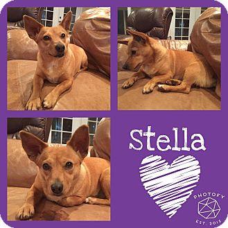 Corgi Mix Dog for adoption in Snyder, Texas - Stella