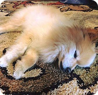 Pomeranian Mix Dog for adoption in Brattleboro, Vermont - LUCKY