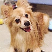 Pomeranian Dog for adoption in Irvine, California - Micro