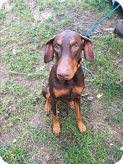 Doberman Pinscher Dog for adoption in Staunton, Virginia - Gucci and dutchess