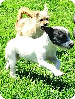 Jack Russell Terrier/Schnauzer (Miniature) Mix Puppy for adoption in Murrieta, California - Jasmine