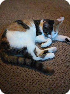 Domestic Shorthair Kitten for adoption in Middletown, Ohio - C J