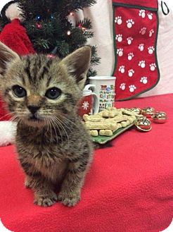 Domestic Shorthair Kitten for adoption in Moody, Alabama - Remus