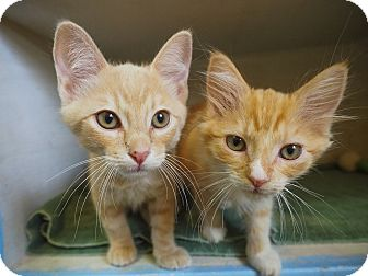 Domestic Shorthair Kitten for adoption in Los Angeles, California - Grinch