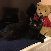 Adopt A Pet :: Raven - Barrington, NJ