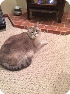 Siamese Cat for adoption in Wasilla, Alaska - Sweet Pea