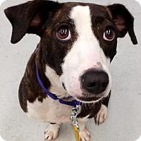 Adopt A Pet :: Snow - Green Bay, WI