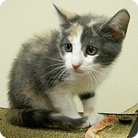Adopt A Pet :: Maple - Georgetown, TX