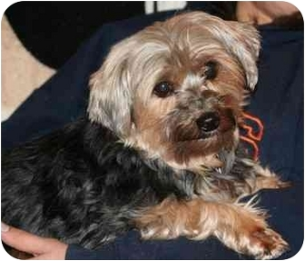 Yorkie, Yorkshire Terrier Dog for adoption in Racine, Wisconsin - Piper
