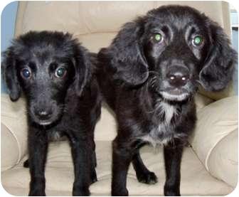 Retriever (Unknown Type)/Shepherd (Unknown Type) Mix Dog for adoption in Detroit, Michigan - Raven