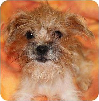 Shih Tzu/Yorkie, Yorkshire Terrier Mix Puppy for adoption in San Pedro, California - Willow