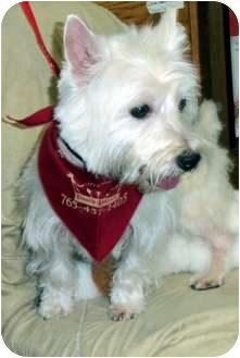 Westie, West Highland White Terrier Dog for adoption in Kokomo, Indiana - Kirby