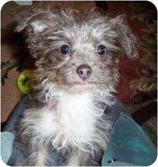 Poodle (Miniature)/Pomeranian Mix Puppy for adoption in Duluth, Georgia - Pocket