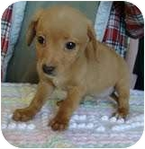 Dachshund/Spaniel (Unknown Type) Mix Puppy for adoption in Windham, New Hampshire - Oliver