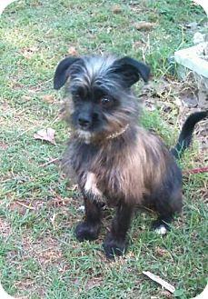 Brussels Griffon Mix Puppy for adoption in Astoria, New York - Davy Jones