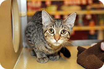 Domestic Shorthair Cat for adoption in Farmingdale, New York - Theodore