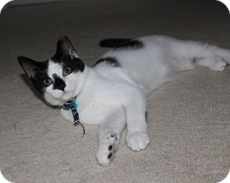 Domestic Shorthair Kitten for adoption in Richmond, Virginia - Bennie