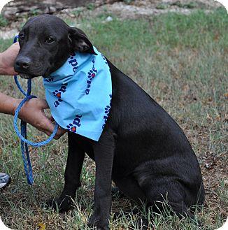 Labrador Retriever/Great Dane Mix Puppy for adoption in Pocahontas, Arkansas - Cupcake
