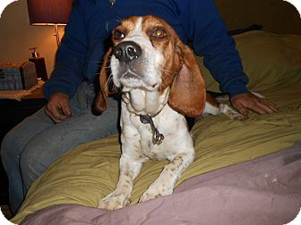 Beagle Dog for adoption in North Jackson, Ohio - Newman