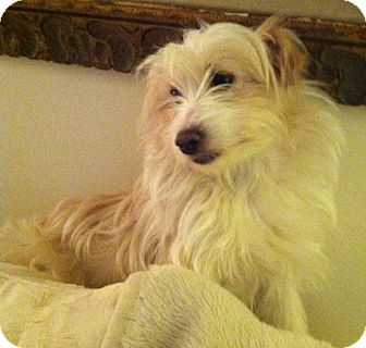 Poodle (Miniature)/Terrier (Unknown Type, Small) Mix Dog for adoption in New Jersey, New Jersey - Spring Lk NJ - Chanel