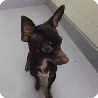 Chihuahua Mix Puppy for adoption in Slidell, Louisiana - Casey