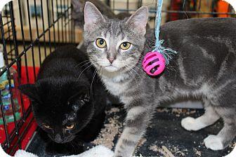 Domestic Shorthair Kitten for adoption in Santa Monica, California - Blake