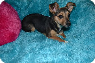 Chihuahua/Terrier (Unknown Type, Small) Mix Puppy for adoption in Homewood, Alabama - Sabrina