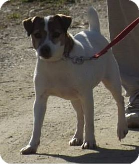 Jack Russell Terrier Dog for adoption in Clinton, Maine - JImmy