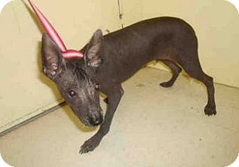 Xoloitzcuintle/Mexican Hairless Mix Dog for adoption in Yuba City, California - 05/31 Unnamed