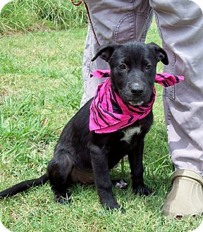 Labrador Retriever Mix Puppy for adoption in Leland, Mississippi - AZLIN/Special Summer Pricing