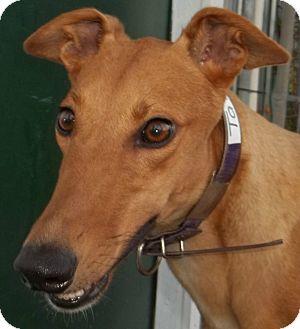 Greyhound Dog for adoption in Longwood, Florida - Topline Talent