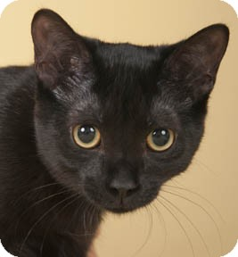 Domestic Shorthair Kitten for adoption in Chicago, Illinois - Athena
