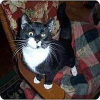 Domestic Shorthair Kitten for adoption in Winnsboro, South Carolina - Christian