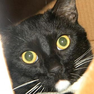 Domestic Shorthair Cat for adoption in Los Angeles, California - Oreo