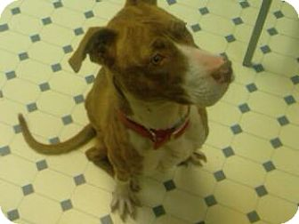 Pointer/American Staffordshire Terrier Mix Dog for adoption in Decatur, Georgia - Amber the Dog