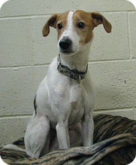 Jack Russell Terrier/Fox Terrier (Smooth) Mix Dog for adoption in New Kensington, Pennsylvania - Sparky