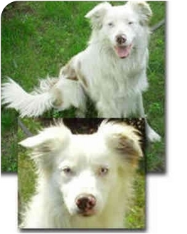 Border Collie Dog for adoption in Stephentown, New York - Magic