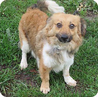 Dachshund/Pomeranian Mix Dog for adoption in Elizabeth City, North Carolina - Bryce