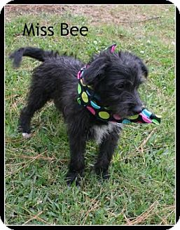 Schnauzer (Miniature)/Dachshund Mix Puppy for adoption in Houston, Texas - Miss Bee