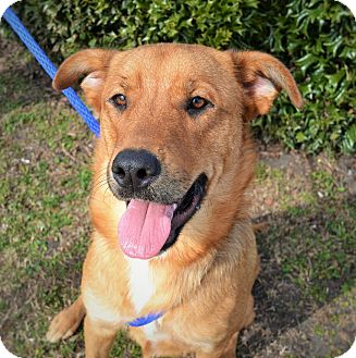 Shepherd (Unknown Type) Mix Dog for adoption in Wilmington, North Carolina - Lacey