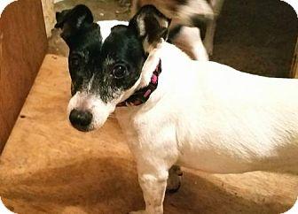 Jack Russell Terrier Dog for adoption in Sanford, Florida - Pepper