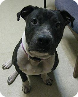 American Staffordshire Terrier Mix Dog for adoption in Gary, Indiana - Vinny