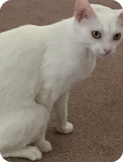 Domestic Shorthair Cat for adoption in Livonia, Michigan - Snowbell-ADOPTED
