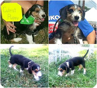 "Dachshund/Beagle Mix Puppy for adoption in Findlay, Ohio - Adoption Pending ""ELEANOR"""