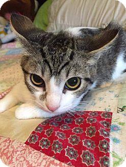 Domestic Shorthair Cat for adoption in Putnam, Connecticut - Nod