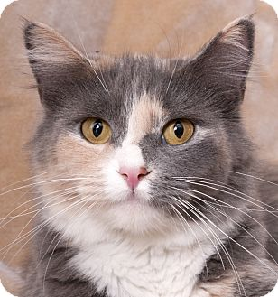 Domestic Mediumhair Cat for adoption in Chicago, Illinois - Sugar